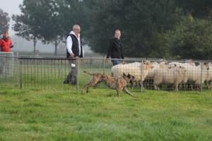 Ivy bij de schapen
